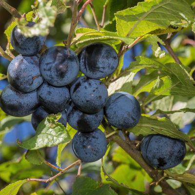 Damsons In Bishop's Wood - Click to open full size image